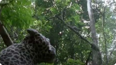 Leopard Monkey Alert! - Attenborough: The Life of Mammals