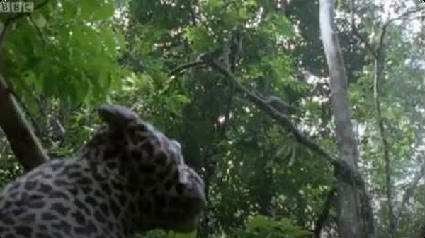 Leopard Monkey Alert! - Attenborough: The Life of Mammals
