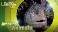 Amazing Animals: Wolf Eel