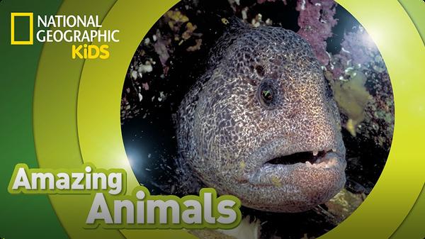 Amazing Animals: Wolf Eel