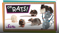 SciShow Kids: True or False? Rats Are Awesome!