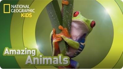 Amazing Animals: Red-Eyed Tree Frog