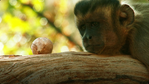 Capuchins Use Stones as Tools to Crack Nuts