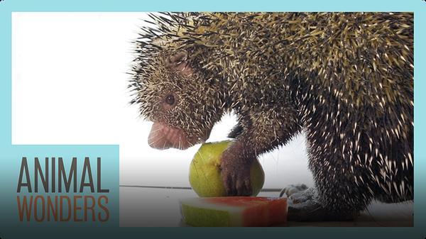 Porcupine Eats Fruit