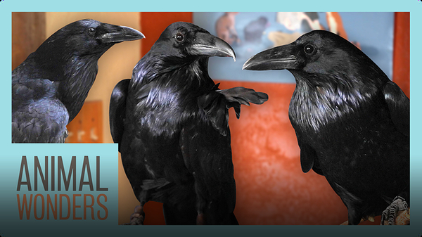 New Ravens! Will They Be Friends?