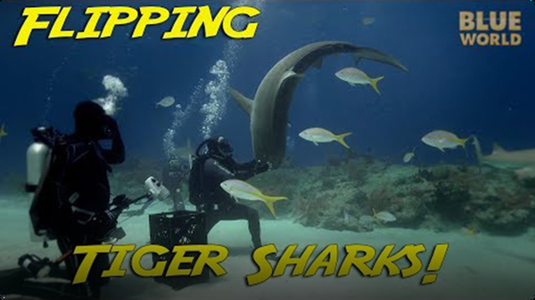 Jonathan Bird's Blue World: Tiger Sharks Doing Flips!