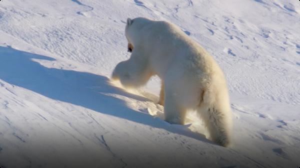 Frozen Planet: Polar Bear Hibernates