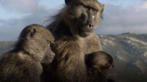 BBC Life: Chacma Baboons