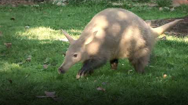 Aardvarks Can Dig Two Feet Underground in 15 Seconds Flat