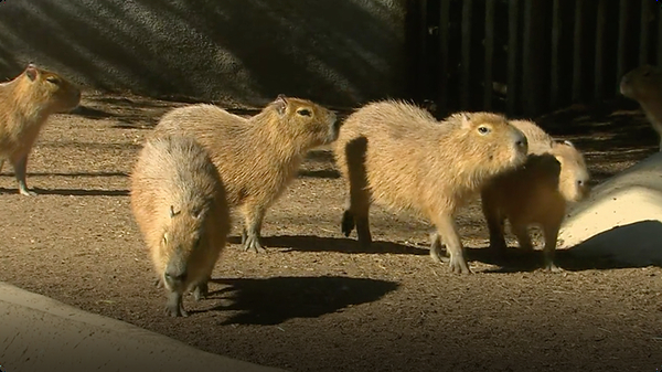 Learn All About Capybaras, the Largest Rodents in the World