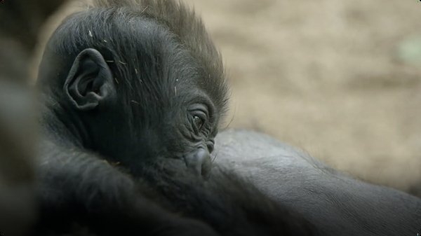 See A One-Month-Old Baby Gorilla Get Cradled Like a Football at the San Diego Zoo
