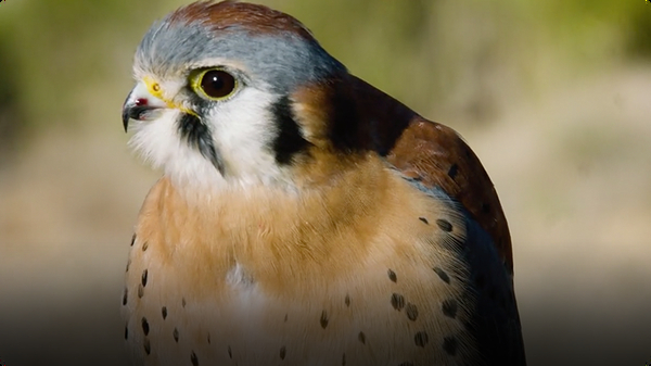 This Cute Tiny Falcon's Vision is 8 Times Sharper Than the Average Human