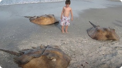 It's not an Alien! Meet the Horseshoe Crab