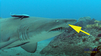 Shark Smell