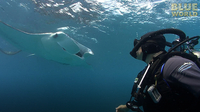Jonathan Bird's Blue World: Manta Ray Feeding Frenzy