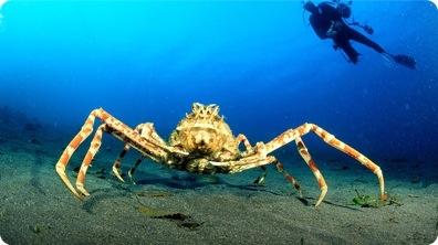 World's Biggest Crab - Japanese Spider Crab