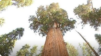 World's Tallest Tree - General Sherman