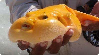 World's Ugliest Animal - Blob Fish