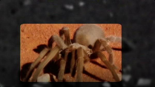 Arachnids - Tarantulas!