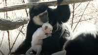 Baby Colobus Monkeys