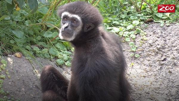 Gibbon and Siamang Training