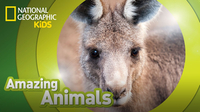 Amazing Animals: Eastern Gray Kangaroo