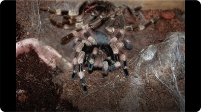 Tarantula Sheds Exoskeleton