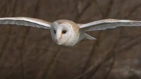 Slow-Mo Barn Owl in Flight - Unexpected Wilderness
