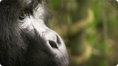 Playful Adult Gorilla - Mountain Gorilla
