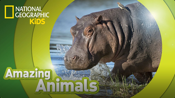 Amazing Animals: Hippo