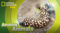 Amazing Animals: Gila Monster
