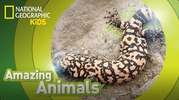 Amazing Animals: Gila Monster