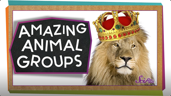SciShow Kids: Amazing Animal Groups!