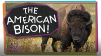 SciShow Kids: Meet the American Bison!