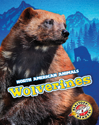North American Animals: Wolverines