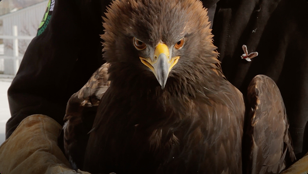 AJHQ Releases an Eagle