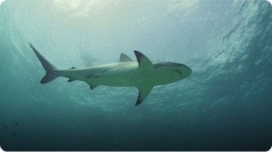 Sharks are Sensitive to Magnetic Energy
