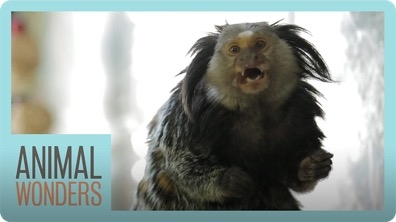 Mimi The Marmoset's Morning Routine