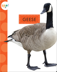 Backyard Animals: Geese