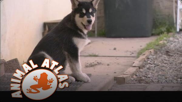 Animal Atlas: Malamute