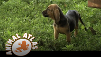 Animal Atlas: Bloodhound