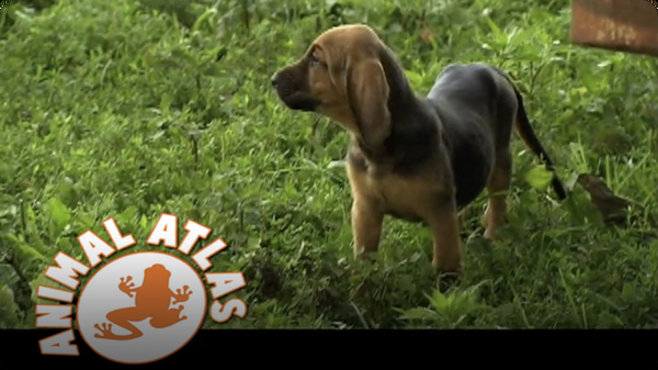 Animal Atlas: Bloodhound