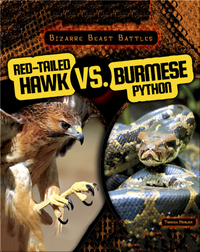 Red-Tailed Hawk vs. Burmese Python