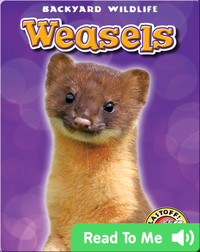 Weasels: Backyard Wildlife
