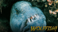 Jonathan Bird's Blue World: Wolffish & Wolf Eels