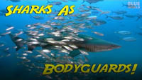 Jonathan Bird's Blue World: Bodyguard Sharks!