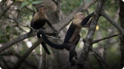 BBC Life: White-Headed Capuchin