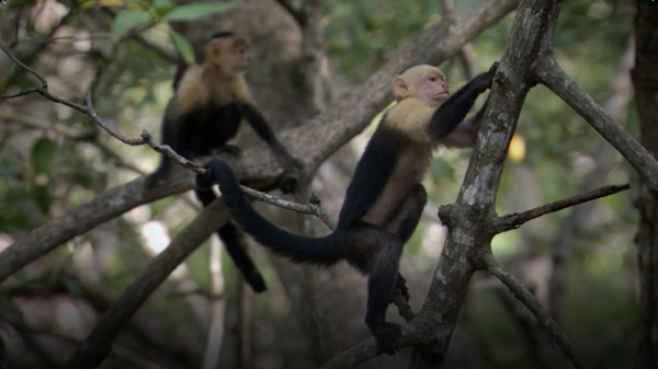 BBC Life: White-Headed Capuchin