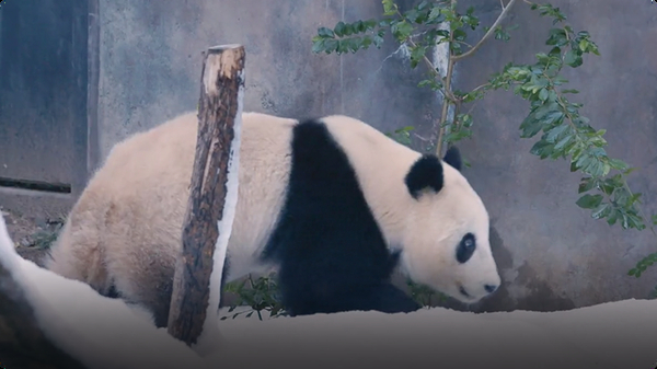 See Pandas at the San Diego Zoo Celebrate A Chilly Snow Day