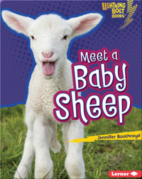 Meet a Baby Sheep